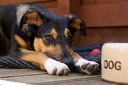 Wallace mixed breed young rescue dog lays beside his dog food bowl  Copyright Paul David Drabble