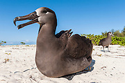Two Black-footed Albatross (Phoebastria nigripes) on the beach. Midway Atoll National Wildlife Refuge.