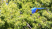 Blue parrot in flight