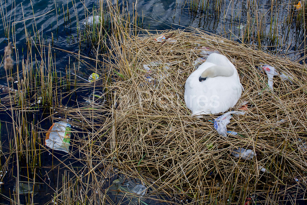 A female mute swan (pen) incubates her eggs on a nest surrounded by plastic bags waste, in an urban water basin. Asleep on the nest, she shares the space with wrappers and bottles, bags and cans tossed from a nearby walkway and perhaps drifted on the water from this urban basin in London's Docklands. The mute swan, which is the white swan most commonly seen in the British Isles, will normally mate at anytime from spring through to summer, with the cygnets being born anytime from May through to July. A swan's nest takes 2-3 weeks and the egg laying process begins with an egg being laid every 12-24 hours. They will all be incubated (ie sat on to start the growth process) at the same time with hatching usually 42 days (6 weeks) later.