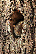 Gray squirrels emerge from their nest in the trunk of a pine tree.