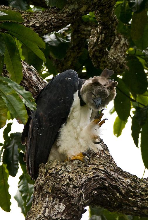 Parauapebas_PA, Brasil..Harpia (Harpya harpyja) em castanheira (Bertholletia excelsa) na floresta amazonica, Para...Harpy (Harpy harpyja) in  brazilian walnut (Bertholletia excelsa) in the Amazon forest in the Floresta Nacional de Carajás, Para...Foto: JOAO MARCOS ROSA / NITRO