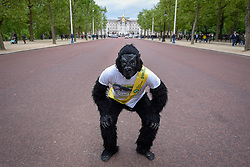 "© Licensed to London News Pictures. 29/04/2017. London, UK. Met Police officer Tom Harrison, 41, known as ""Mr Gorilla"", celebrates in The Mall, in front of Buckingham Palace, after finally completing the London Marathon after six days of crawling and raising £23,900 for The Gorilla Organisation.   Photo credit : Stephen Chung/LNP"