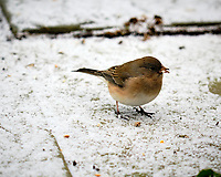 Junco? Image taken with a Fuji X-T3 camera and 200 mm f/2 lens with 1.4x TC