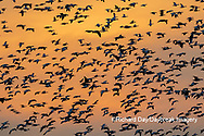 00754-02816 Snow Geese (Anser caerulescens) in flight at sunset Marion Co. IL