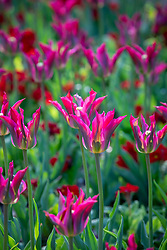 Tulipa 'Love Dance' and Polyanthus 'Stella Scarlet Pimpernel' F1