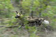 Ein rennender Afrikanischer Wildhund (Lycaon pictus) auf der Jagd, Greater Kruger Area, Südafrika<br /> <br /> A running African wild dog (Lycaon pictus) on the hunt, Greater Kruger Area, South Africa