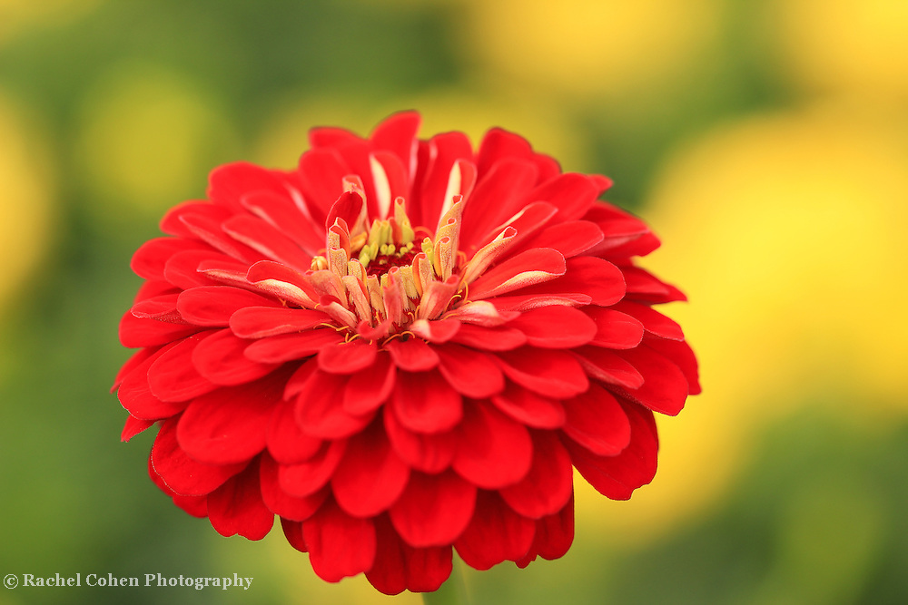 """""""Zinnia Orange King""""<br /> <br /> Brilliant deep orange Zinnia on a yellow and green background!!<br /> <br /> Flowers and Wildflowers by Rachel Cohen"""