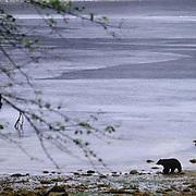 Black Bear, (Ursus americanus) Bear walking along coastal shore- line in Tongass National Forest.  Southeast Alaska.