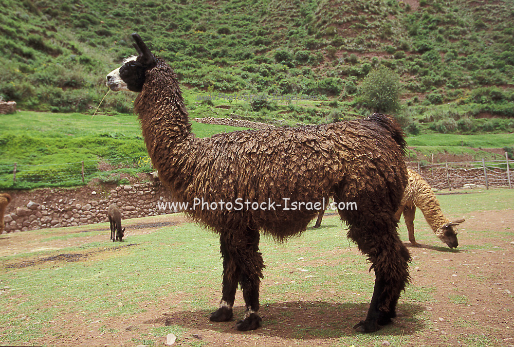 Llama in the Andes Mountains
