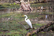 Great Egret in wetlands swamp in the Florida Everglades, United States of America