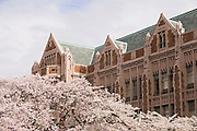 Miller Hall rises over blooming cherry trees in the Quad on the University of Washington campus in Seattle, Washington on March 9, 2005.
