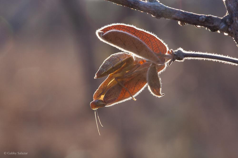 Praying mantis. Nylsvley Reserve. Limpopo Province, South Africa.