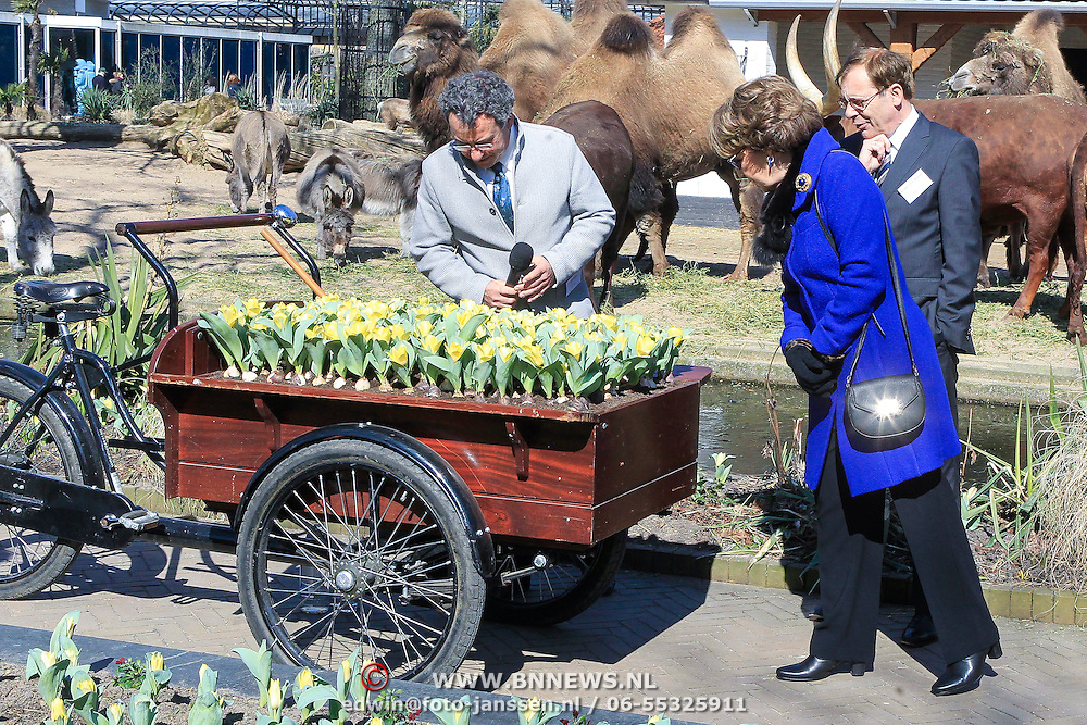 NLD/Amsterdam /20130327 - Prinses Magriet doop een tulp in Artis,  Prinses Margriet bekijkt de tulpen
