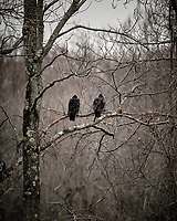 Turkey Vultures in a Tree. Image taken with a Fuji X-T3 camera and 200 mm f/2 OIS telephoto lens (ISO 200, 200 mm, f/2, 1/250 sec).