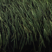 Reeds of grass on top of water.