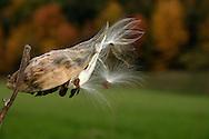 Salisbury Mills, NY - A milkweed on an autumn afternoon. Oct. 24, 2004.