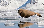 Walrus, Magdalena Fjord, Spitsbergen, Norway. .6/4/08 Odobenus rosmarus