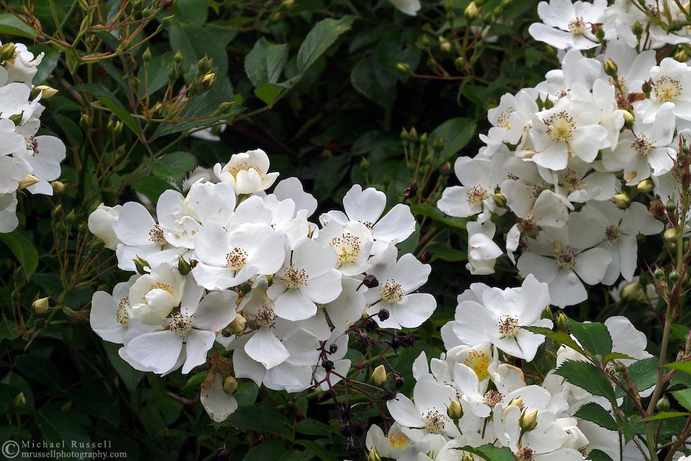 "Rambler Rose ""Rosa mulliganii"" flowers and buds"