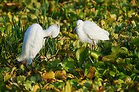 Two Snowy Egret (Egretta thula) searching for food among water hyacinths on Lake Chapala, Jocotopec, Jalisco, Mexico