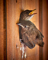 House Wren Nest at My Front Door. Image taken with a Fuji X-T2 camera and 100-400 mm OIS telephoto zoom lens