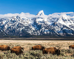 Bison for Carly