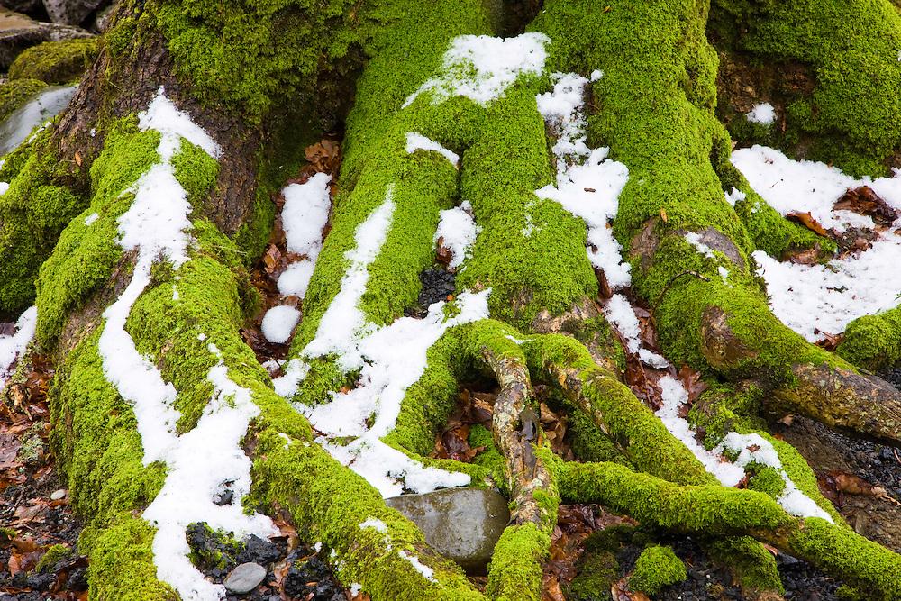 Oak Tree, (Quercus robur) The Elan Valley, Rhayader, Mid-Wales, UK          ROBLE, VALLE DE ELAN, RHAYADER, GALES MEDIO, REINO UNIDO