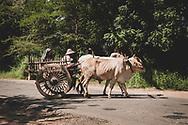 Bagan, Myanmar - November 14, 2011: An ox cart carrying a man and woman crosses an asphalt road in Bagan.