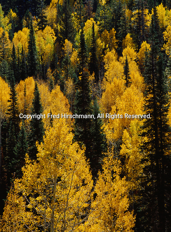 Quaking Aspens and Douglas fir in autumn, Kaibab Plateau, North Rim, Grand Canyon National Park, Arizona.