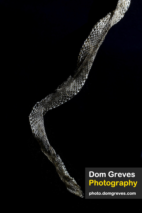 Sloughed skin of adder (Vipera berus). Surrey, UK.