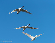 Three tundra swans pass right over head on their flight from a night roost on Skagit Bay to inland feeding fields in Skagit County.