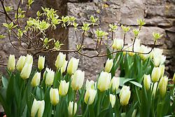 Tulipa 'Purissima' growing under Cornus controversa 'Variegata'