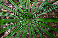 """Palm leaf, lowland rainforest, Aiduma Island, near Triton Bay, Mainland New Guinea, Western Papua, Indonesian controlled New Guinea, on the Science et Images """"Expedition Papua, in the footsteps of Wallace"""", by Iris Foundation"""