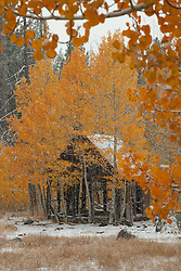 """""""Shack in the Aspens 3"""" - Photograph of yellow leaved aspens and an old shack near the summit of Hwy 267 in Tahoe. Shot in the fall while it was snowing."""