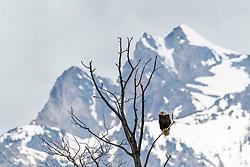 Rocky Mountain Bald Eagle, Jackson Hole Wyoming.