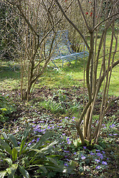Anemone blanda growing in woodland area with blue seat beyond<br /> Design: Mary Keen