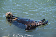 California sea otter, Enhydra lutris nereis ( threatened species ), eating a mussel, with more on its chest in a skin pouch, to be consumed next, Elkhorn Slough, Moss Landing, California, United States ( Eastern Pacific )