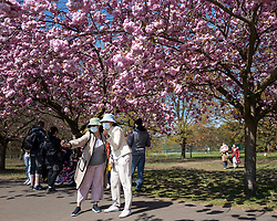 © Licensed to London News Pictures. 24/04/2021. London, UK. Members of the public wear masks as they take a selfie in an avenue of cherry blossom trees during sunny weather in Greenwich Park in south east London. Temperatures are expected to rise with highs of 16 degrees forecasted for parts of London and South East England today . Photo credit: George Cracknell Wright/LNP