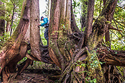 David Page crosses a nurse log in old growth forest. Vancouver Island, BC