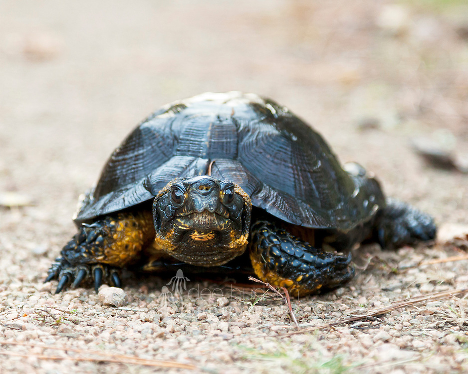 Posing for my camera, is a Wisconsin–threatened species, the Wood Turtle. Biking along the Bearskin Trail in northern Wisconsin this Fall, I see a dark mound ahead on the path. I suspected a snapping turtle. To my surprise, it was a turtle I had never seen before, a Wood Turtle. This turtle lives amongst the forested land along river and streams (riparian wetlands). Wood Turtle (Clemmys insculpta)