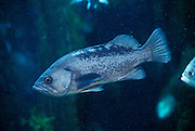 Black Rockfish (Sebastes melanops) native to the Pacific Coast of North America. This is a commercial species often sold as Pacific Snapper.
