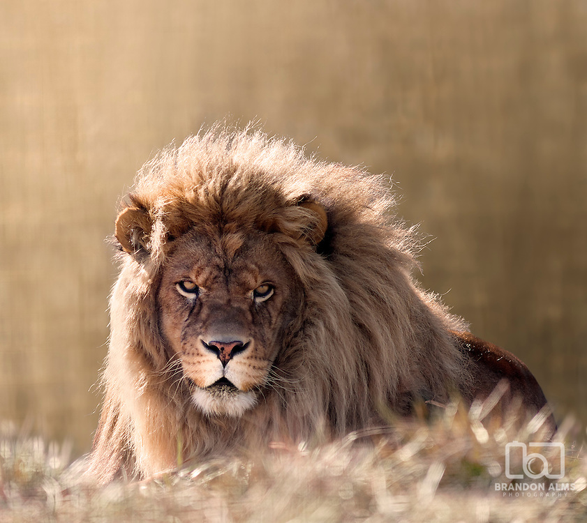 A close up shot of a male lion (Panthera leo) looking directly at the camera.