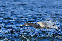 Female Bottle-nosed Dolphin with calf,<br /> Tursiops truncatus,<br /> Moray Firth, Nr Inverness, Scotland - June