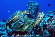 green sea turtles, Chelonia mydas, Turtle Pinnacle, Kona, Hawaii ( the Big Island ), USA ( Central Pacific Ocean )