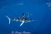 striped marlin, Kajikia audax (formerly Tetrapturus audax ), chasing a bait ball of sardines, off Baja California, Mexico ( Eastern Pacific Ocean )