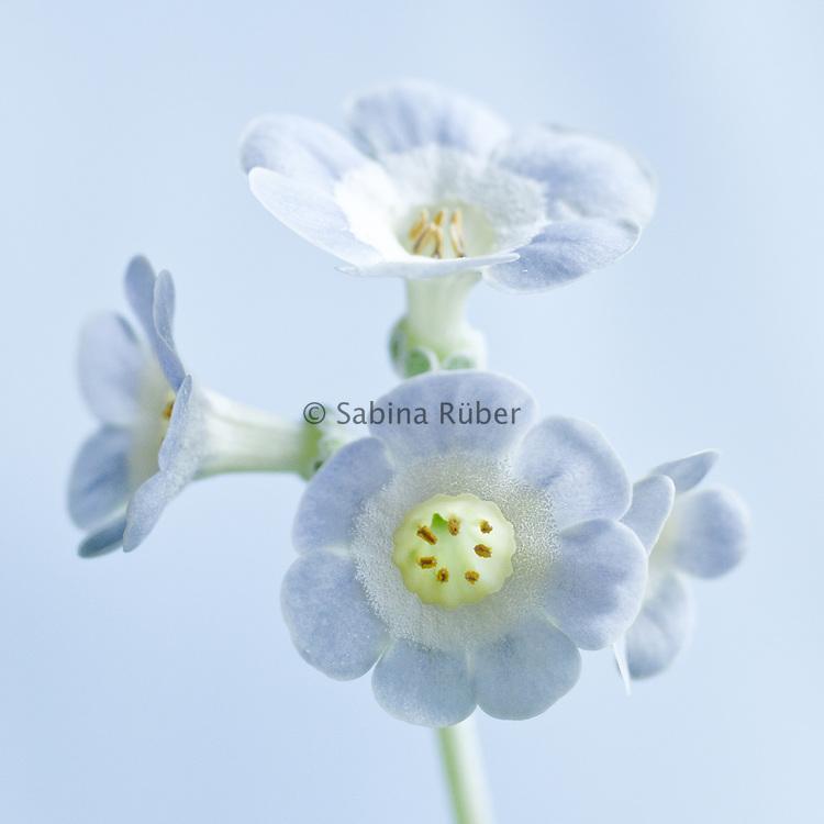 Primula auricula 'Blue Yonder' - self show auricula