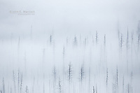 Tree skeletons from a forest fire are surrounded by fog in Kootenay National Park, BC, Canada
