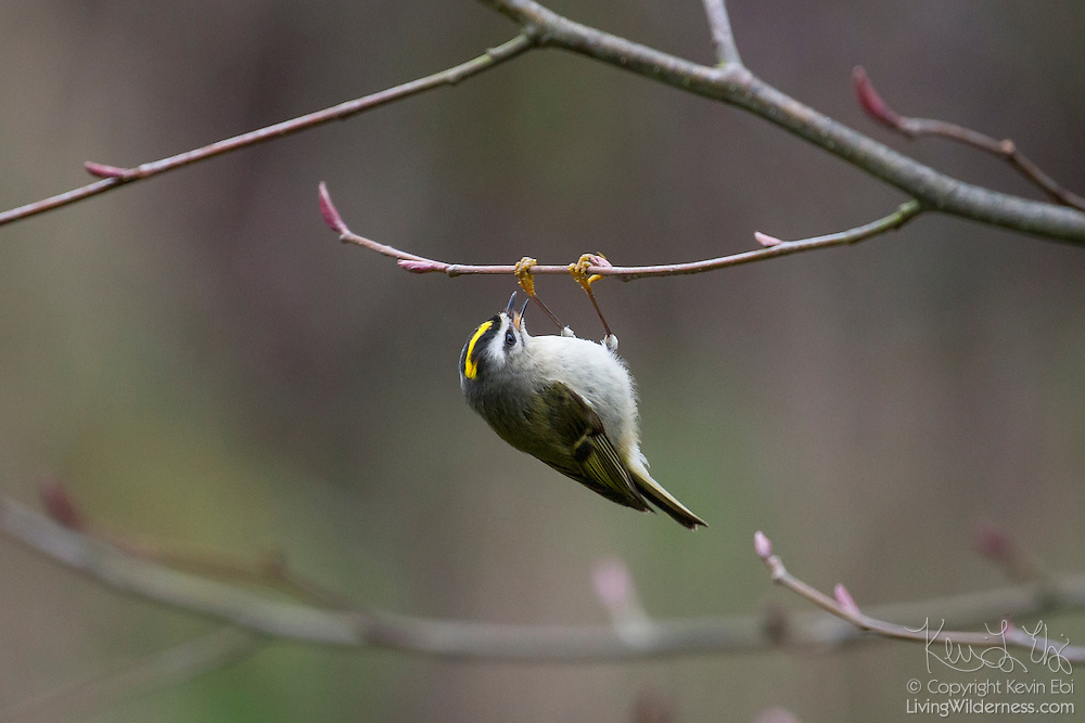 A female golden-crowned kinglet (Regulus satrapa) hangs upside down to feed on insects on an alder branch in Snohomish County, Washington.  Golden-crowned kinglets mainly eat insects and their eggs, though they will eat seeds in the winter. They breed in the far North and can survive -40 degree nights.
