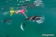 snorkeler reaches down to touch a manta ray, Manta alfredi (formerly Manta birostris ), feeding on plankton, Hanifaru Bay, Baa Atoll, Maldives ( Indian Ocean )