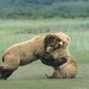 Alaskan Brown Bear (Ursus middendorff) adult and a young female playing. Katmai National Park, Alaska